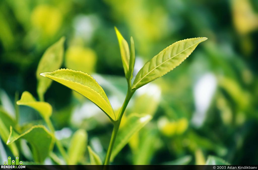preview tea-plant