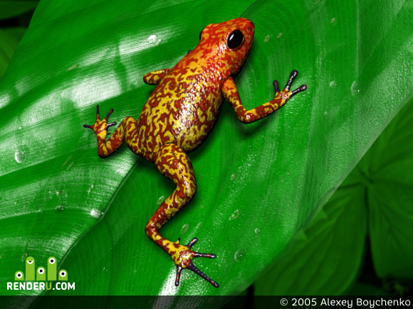 preview Poison Arrow Frogs