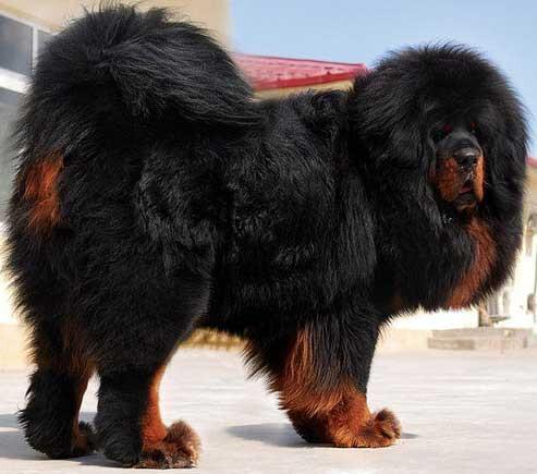 tibeta-mastifo2.jpg