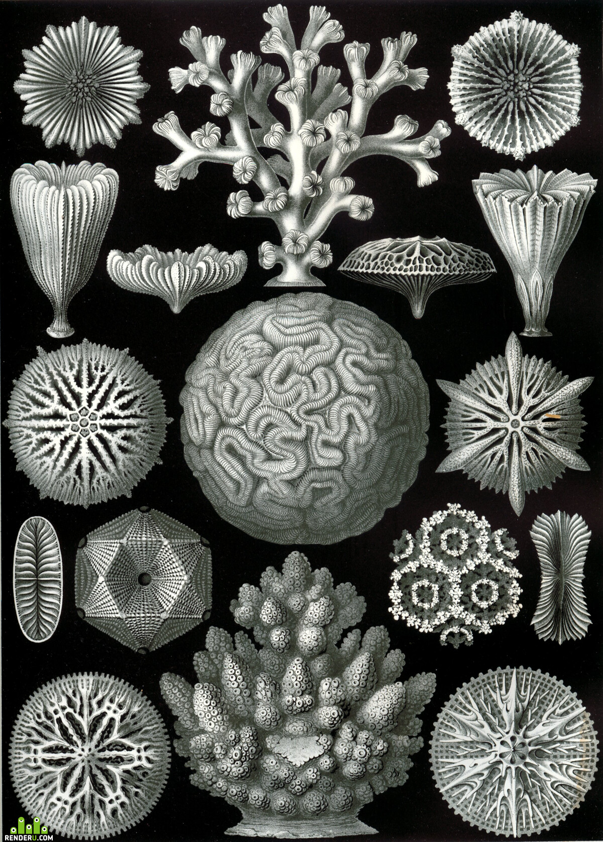 Haeckel_Hexacoralla.jpg