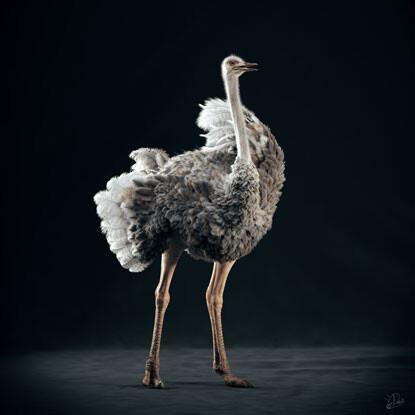 Среднего роста самка сомалийского страуса, созданная Юрием